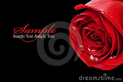 Red Rose on Black (with sample text)