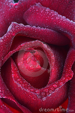 Red rose bud