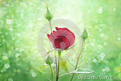 Red rose bud in garden