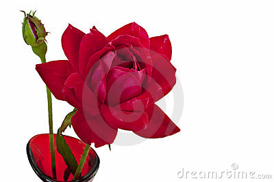 Red rose and bud isolated on white