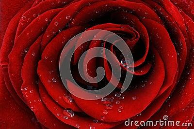 Red rose closeup