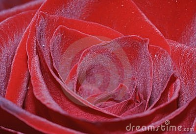 Red rose closeup
