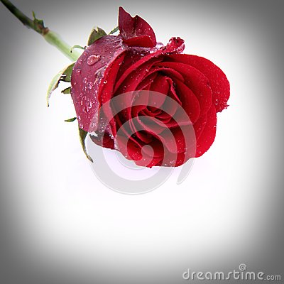 Red rose covered with drops