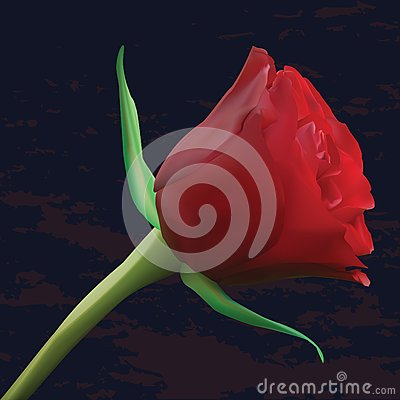 Red rose on dark background