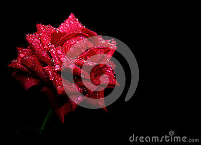 Red rose drops dew isolated