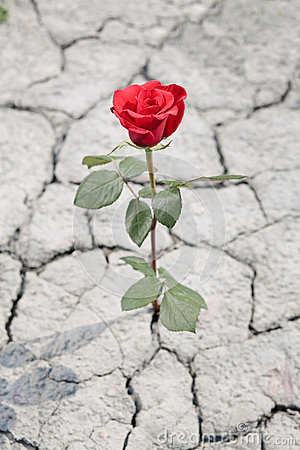 Red Rose In Dry Earth Stock Images Image 25306534