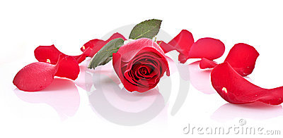 Red rose with fallen petals isolated