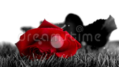 Red rose falling on a grey ground. In slow motion stock footage