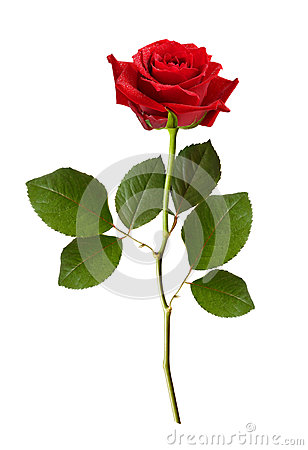 Free Red Rose Flower Stock Photography - 91706882