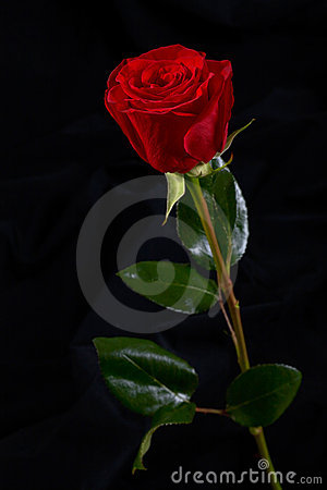 red rose flower background. RED ROSE FLOWER ON BLACK