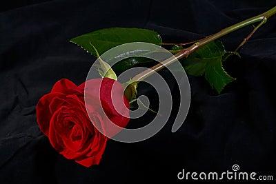 Red rose flower blossom