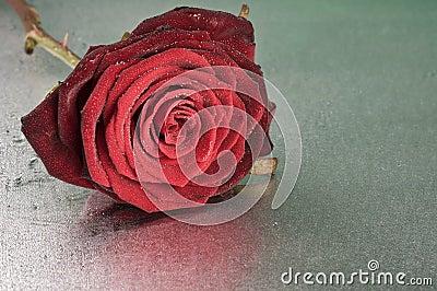 Red rose flower lying on wet surface
