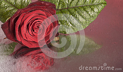 Red rose flower lying on wet surface