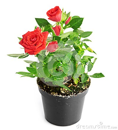 Red Rose In The Flower Pot Stock Photo Image 26660300