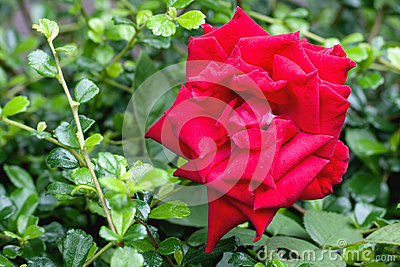 Red rose on garden