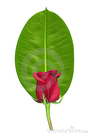 Red rose on green leaf