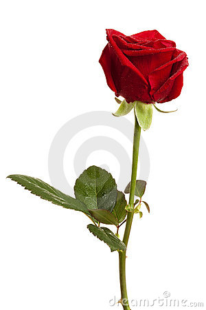 Free Red Rose Isolated Royalty Free Stock Photos - 15221558