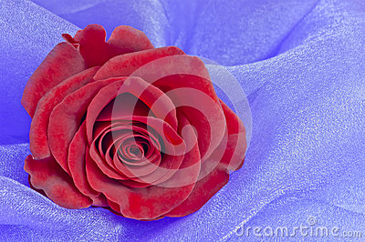 Red rose, lavender background,