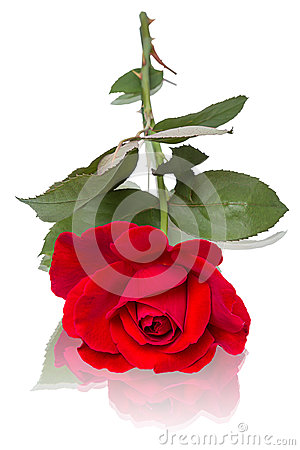 Red rose lying down