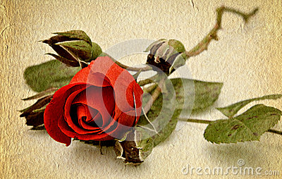 Red rose old paper texture