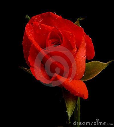 Free Red Rose On Black. Stock Images - 12717544