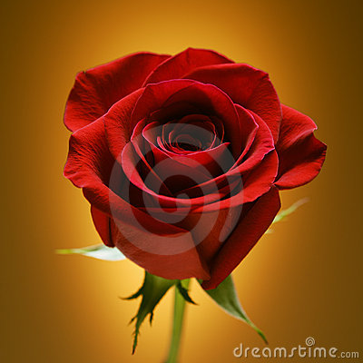 Free Red Rose On Gold. Stock Photography - 2426252