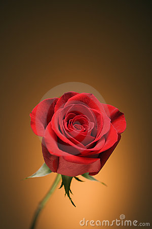 Free Red Rose On Gold. Royalty Free Stock Photo - 2432315