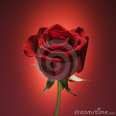 Free Red Rose On Red. Stock Photos - 2426253