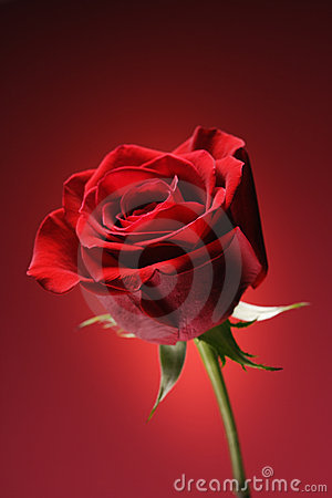 Free Red Rose On Red. Royalty Free Stock Photo - 2426255