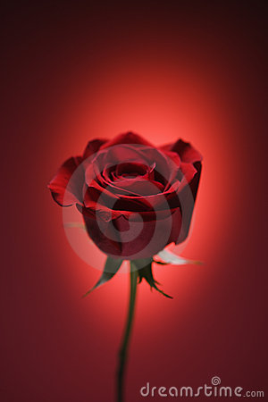 Free Red Rose On Red. Royalty Free Stock Image - 2432316