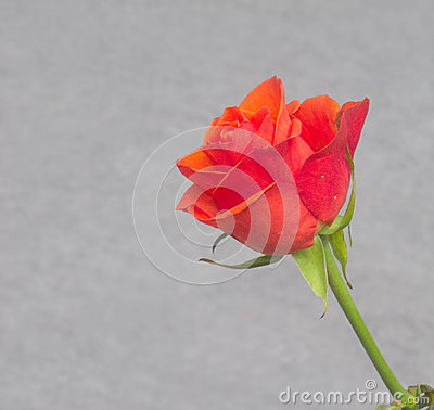 Red rose over gray background