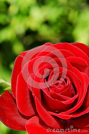 Red rose over green
