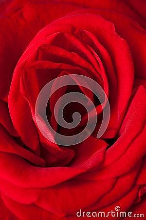 Red rose petal