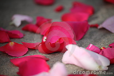 Red rose petals with few of them in focus