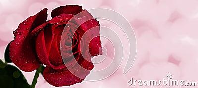 Red Rose Pink Bokeh