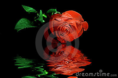 Red rose reflecting in water