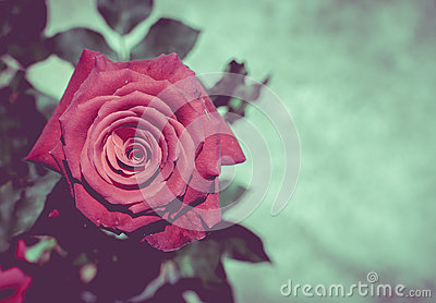 Red rose with retro filter effect