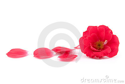 Red rose and rose-petals