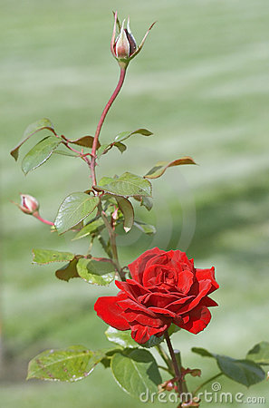 Red Rose With Rosebud