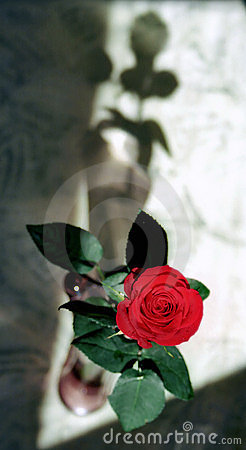 Red rose and shade