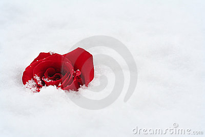 Red rose in snow