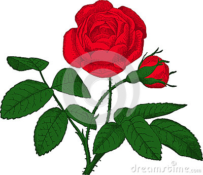 Red rose. Vector