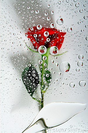 Red rose in water drops 1