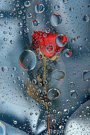 Red rose in water drops 6