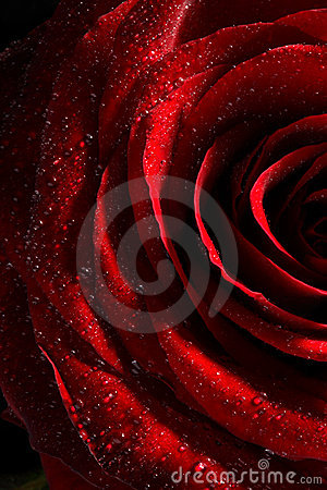 Red Rose With Water Drops Close Up Royalty Free Stock Photos - Image: 3657978