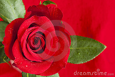 Red Rose Wet