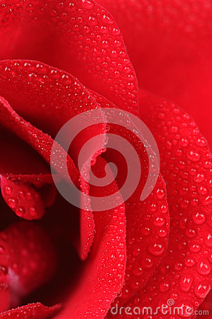 Free Red Rose With Dew Drops Macro Stock Image - 46193501