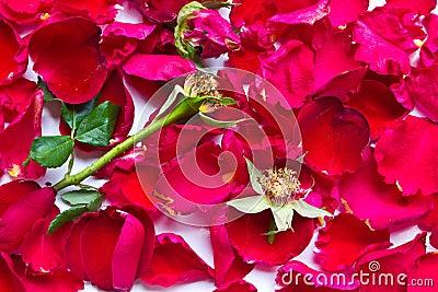 Red roses wilt