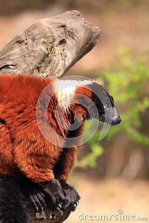 Red ruffed lemur monkey