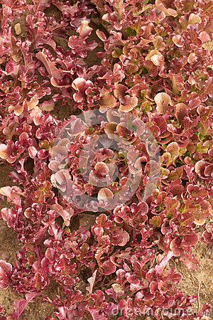Red salad grows close up